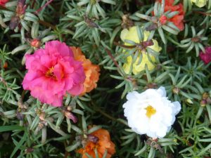 Moss Rose Pink Ground Cover Flower