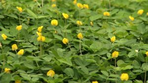 Perennial Peanut Yellow Ground Cover Flower