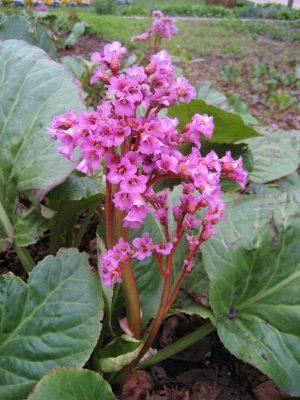 Purple Bergenia Ground Cover Flower