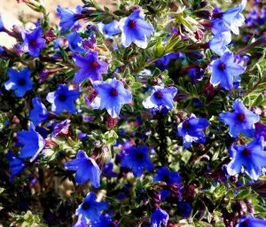 Purple Gromwell Heavenly Blue Ground Cover Flower