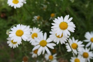 Roman Chamomile White Ground Cover Flower