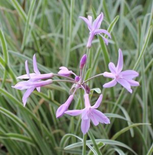 Society Garlic Pink Ground Cover Flower