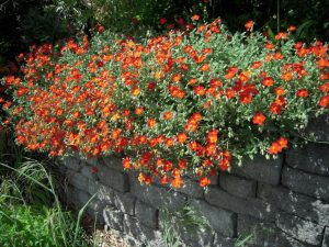 Sun Rose Henfield Brilliant Red and Orange Ground Cover Flower