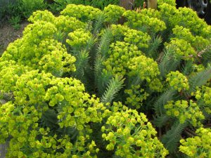 Upright Myrtle Spurge Yellow Ground Cover Flower