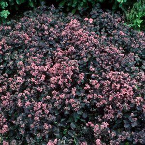 Vera Jameson Stonecrop Pink Ground Cover Flower