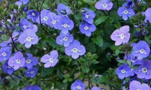 Veronica Georgia Blue Ground Cover Flower