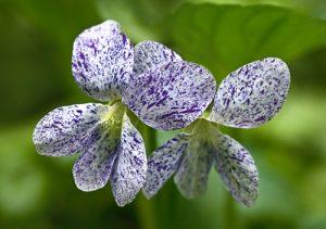 Violet Dark Freckles Purple Ground Cover Flower