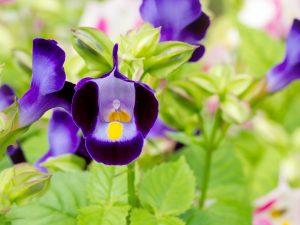 Wishbone Flower Blue Ground Cover