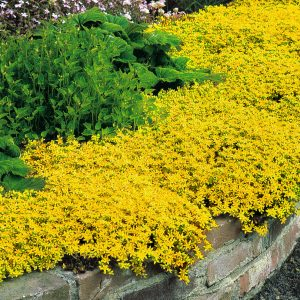 Yellow Stonecrop Ground Cover Flower