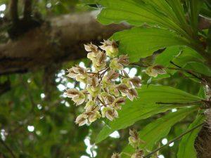Catasetum Orchid