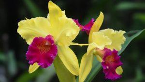 Cattleya Orchids