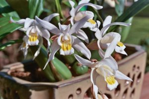 Coelogyne Orchid
