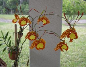 Psychopsis Orchid