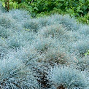 Blue Fescue Ornamental Grass