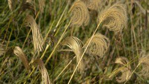 Himalaya Fairy Grass