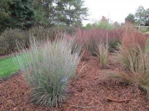 Little Bluestem Ornamental Grass
