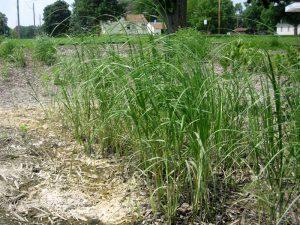 Prairie Cord Grass