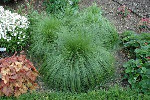 Prairie Dropseed Ornamental Grass
