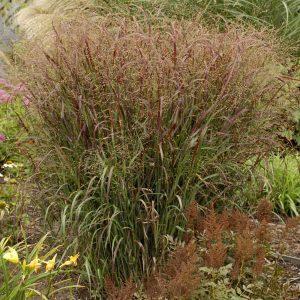 Prairie Fire Red Switchgrass
