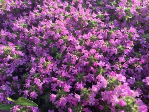 Creeping Thyme Rock Garden Plant