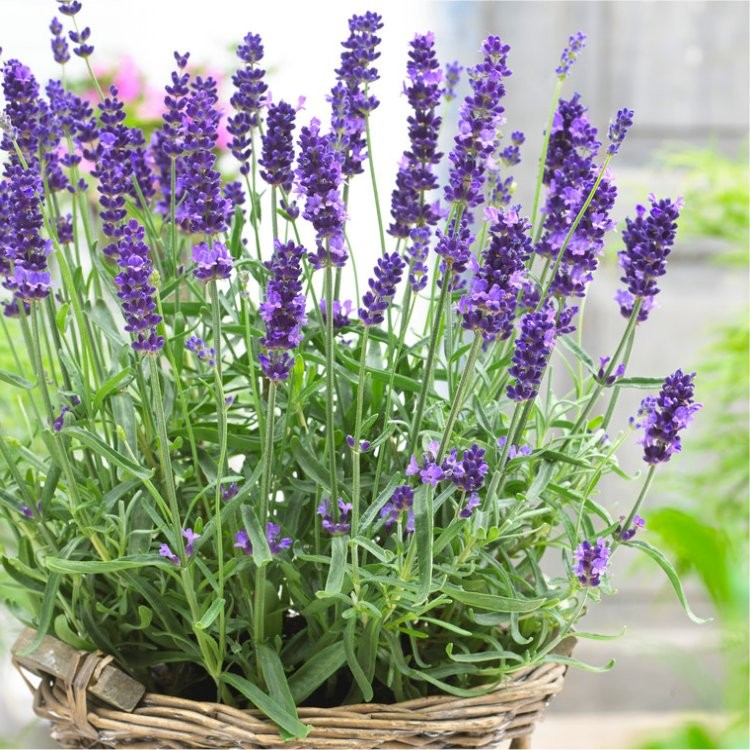 English Lavender Rock Garden Plant