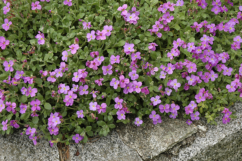 Purple Rockcress Plant