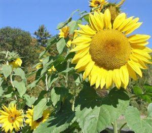Arikara Sunflower