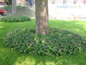 Big Root Geraniums Ground Cover Plant