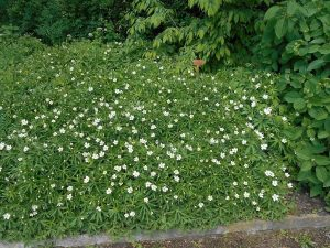 Canada Anemone Ground Cover Plant