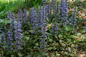 Carpet Bugleweed Ground Cover Plant