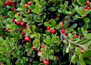 Common Bearberry for Plants Under Pine