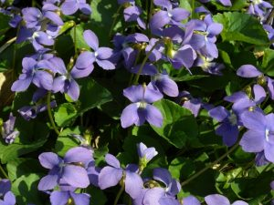 Common Blue Violet Ground Cover Plant