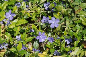 Common Periwinkle Ground Cover Plant
