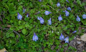 Creeping Mazus Ground Cover Plant