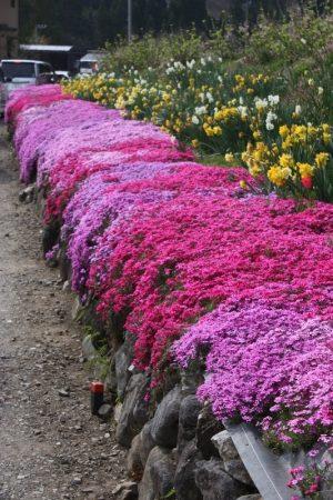 Creeping Phlox Ground Cover Plant