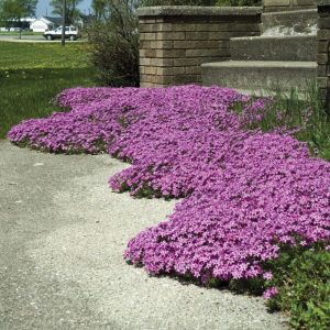 Creeping Phlox of Plants Under Pine