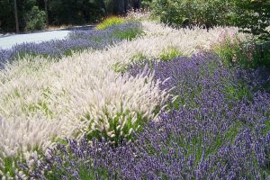 Drought-Resistant Oriental Fountain Grass