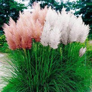 Drought-Resistant Ornamental Pampas Grass