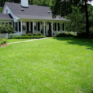 Drought-Tolerant Centipede Grass