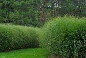 Drought-Tolerant Maiden Grass