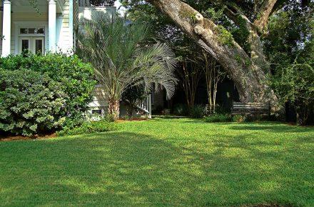 Drought-Tolerant St Augustine Grass