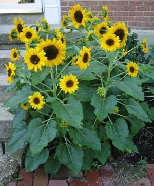 Elf Sunflower