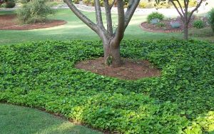 English Ivy Ground Cover Plant