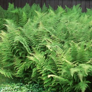 Hay-Scented Fern for Plants Under Pine
