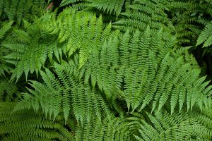 Lady Fern for Landscaping Under Pine Trees