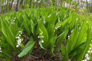 Lily-Of-The-Valley Ground Cover Plant