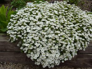 Little Gem Evergreen Candytuft Ground Cover Plant
