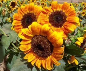 Little Tiger Sunflower
