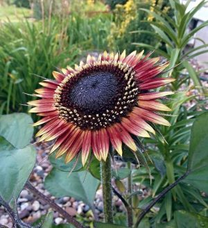 Ms Mars Sunflower