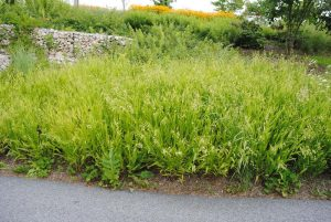 Northern Sea Oats for Landscaping Under Pine Trees